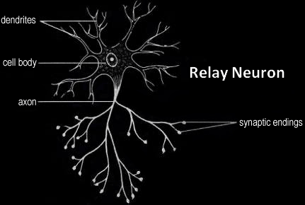relay_neurone